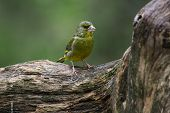 A European Greenfinch (chloris Chloris) Sitting On The Branch In Green Forest. European Greenfinch W poster