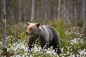 The Brown Bear (ursus Arctos) Female Walking In The Green Grass And White Flowers. The Brown Bear (u poster