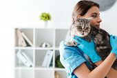 Young Veterinarian Holding Tabby Scottish Straight Cat On Hands poster