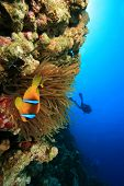 Red Sea Anemonefish and Scuba Divers