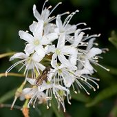 Labrador Tea And Fly