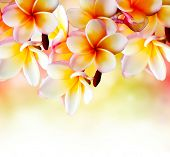 stock photo of frangipani  - Frangipani Tropical Spa Flower - JPG