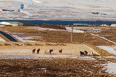 Iceland Horses And Icelandic Landscape, Winter In Iceland, Sunny Day In Winter, Icelandic Horses poster