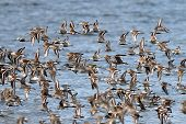 Shorebirds on the Washington Coast