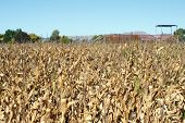 Maize crop in a drought