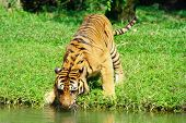 Tiger Play Water