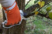 foto of prunes  - Pruning of fruit trees pruning shears - JPG