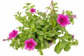 stock photo of petunia  - Petunia flowers with pink petals and velvety leaves grows in the hanging pot - JPG