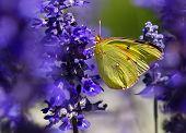 Orange Sulphur (Colias eurytheme) butterfly