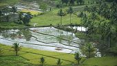 pic of carabao  - water buffalo grazing amidst flooded rice paddies on bohol island in the philippines - JPG