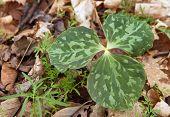 three leaf trillium plant