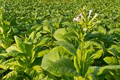 Tobacco Plants farm