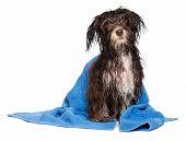 Nasse dunkle Schokolade Havaneser Welpen Hund nach Bad