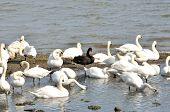 Large group of swans with Black swan