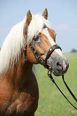 Portrait Of Haflinger Stallion