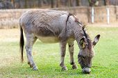 stock photo of burro  - Burro grazing in the zoo ranch young - JPG
