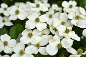 stock photo of dogwood  - In June - JPG