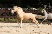 Gorgeous Palomino Stallion Running