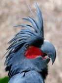 image of palm cockatoo  - the close up of palm cockatoo bird - JPG