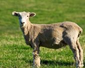 Shorn Sheep