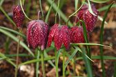 Fritillary Flower