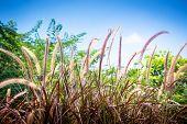 Flowering Of Purple Grass