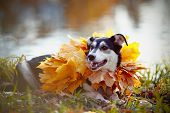 Dog On A Grass In Yellow Autumn Leaves.