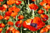 Garden of Oriental Poppies (Papaver Orientale)