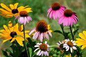 Coneflower and Black-eyed Susan Garden
