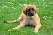 Leonberger Dog On A Meadow