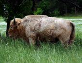 Rare White Buffalo