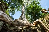 Tree swallowing ancient ruins of Angkor Wat Cambodia
