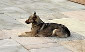 Постер, плакат: Watchful Brown Dog Lying On The Stone Slabs