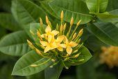 Yellow Ixoras Flower