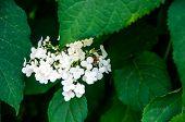 Bee On Hydrangea Paniculata
