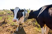 Menorca friesian cows cattle grazing near Ciutadella Balearic Islands
