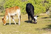 foto of hump  - Zebus sometimes known as humped cattle or Brahman cattle - JPG