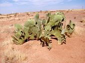 stock photo of xeriscape  - wide view of prickly pear cactus - JPG