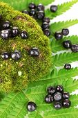 Blueberries on moss and fern close-up