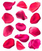Beautiful pink rose petals, isolated on white
