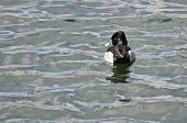 Male Ring-necked Duck Swimming In A Lake