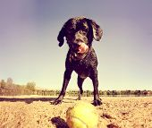 a black lab looking at a tennis ball on the sand done with a warm filter