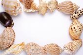 Shells Fame