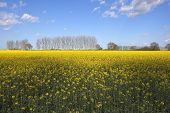 stock photo of rape-seed  - a rape seed crop with bright yellow flowers in early summer with poplar trees and hedgerows under a blue cloudy sky - JPG