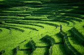 BALI - APRIL 12, 2014: An unidentified farmer checks his growing paddy plants on the terraced rice f