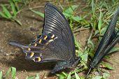 Butterflies (papilio Maackii)