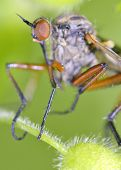 Macro with Robber fly insect