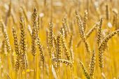 ears of wheat on a grain field of a farmer in the summer.