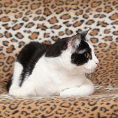 Beautiful Cat Lying On Blanket