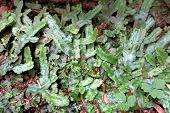 Snakeskin Liverwort - Conocephalum conicum